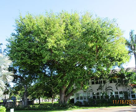 photo of Champion Tamarind tree